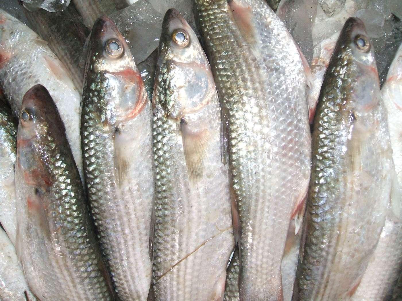 السمك ملطوع والشكك ممنوع