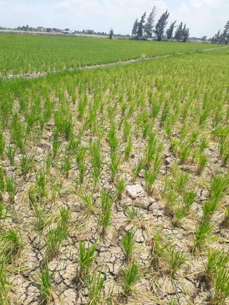 أرز وقمح الجفاف أسلحة مصرية مبتكرة ضد سد النهضة والعجز المائى