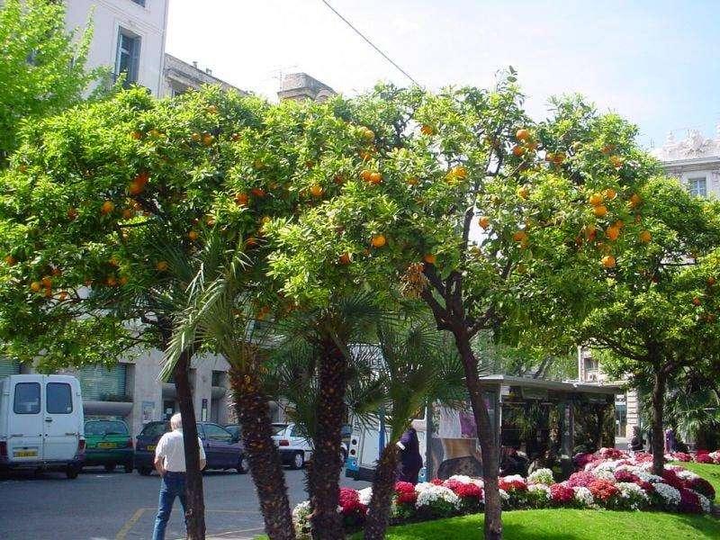 ازرعوا البرتقال في الشوارع بدل الأشجار عديمة المنفعة.. حتى شوفوا